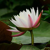 Water Lily<br /> <br /> © Sparkle Clark