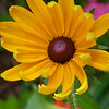 Black-eyed Susan<br /> © Sparkle Clark