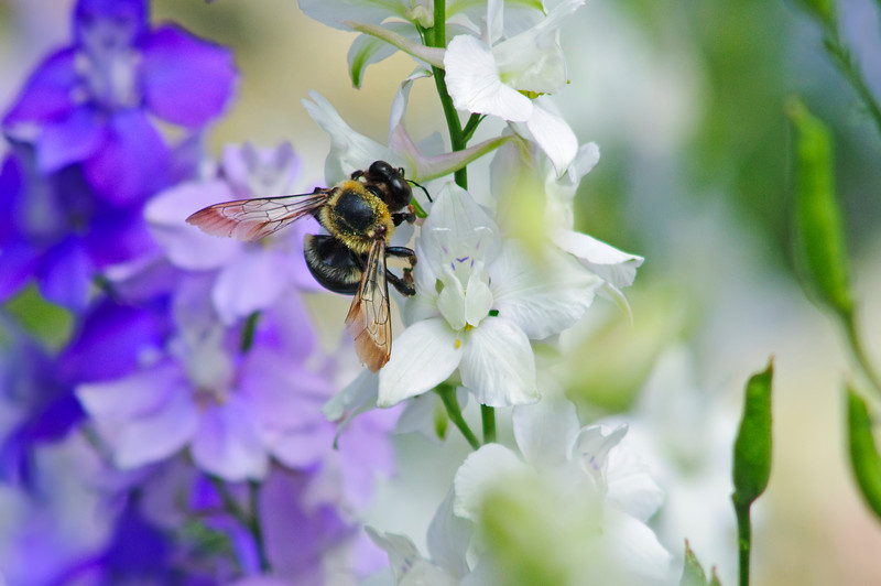 Bee on White 2<br /> © Sparkle Clark
