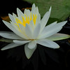 Water Lily with reflection<br /> <br /> © Sparkle Clark