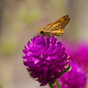 Skipper on Purple<br /> <br /> © Sparkle Clark