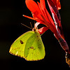 Cloudless Sulphur in the Morning Light<br /> © Sparkle Clark
