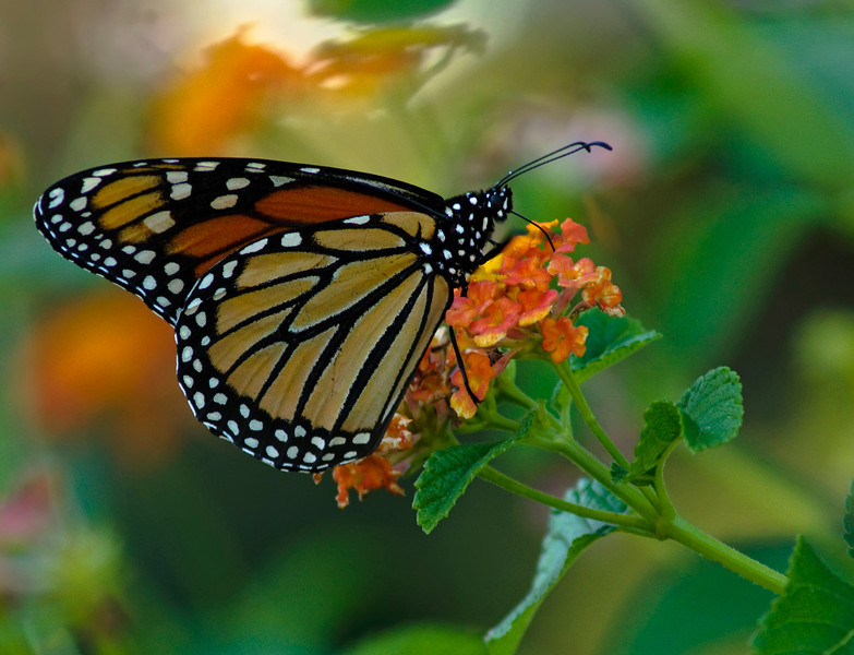 Monarch on Lantana, closer<br /> © Sparkle Clark