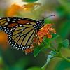 Monarch on Lantana, closer<br /> © Sparkle Clark