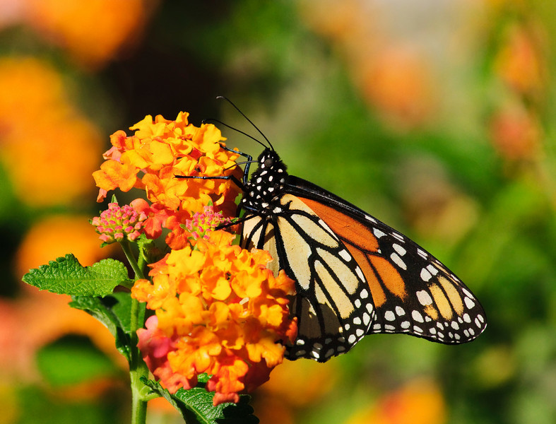 Monarch on Lantana V<br /> © Sparkle Clark