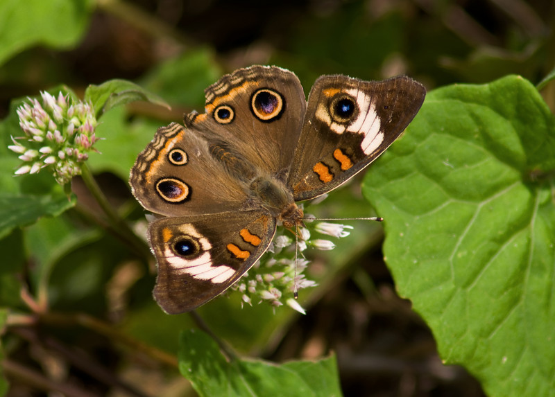 Common Buckeye<br /> © Sparkle Clark