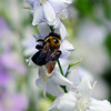 Bee on White<br /> © Sparkle Clark