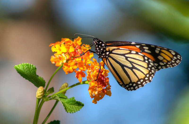 Monarch on Lantana VI<br /> © Sparkle Clark