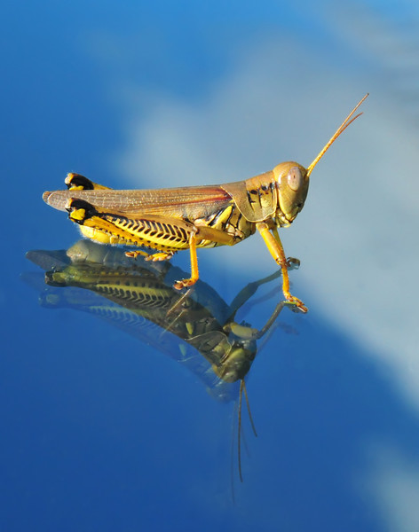 Differential Grasshopper on windshield<br /> © Sparkle Clark