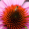 Variations on a Coneflower Part 1<br /> © Sparkle Clark