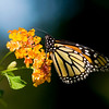 Monarch on Lantana IV<br /> © Sparkle Clark