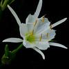 Rocky Shoals Spider Lily<br /> © Sparkle Clark