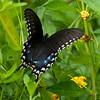 Spicebush Swallowtail<br /> <br /> © Sparkle Clark