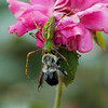 Faded Rose, Faded Bee, Healthy Lynx<br /> © Sparkle Clark