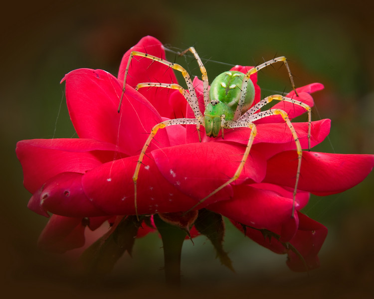 "Lynx Spider on Rose<br /> ""Waiting""<br /> © Sparkle Clark"