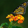 Monarch on Lantana<br /> © Sparkle Clark