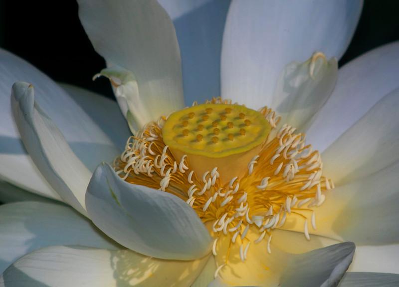 Lotus II<br /> © Sparkle Clark