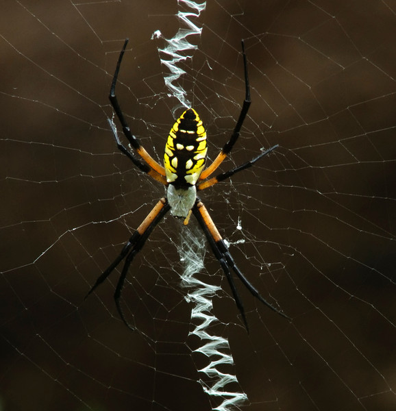 Black and Yellow Argiope<br /> © Sparkle Clark