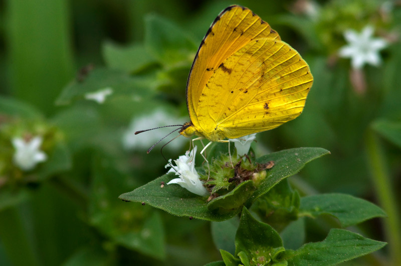 Cloudless Sulphur on white<br /> <br /> © Sparkle Clark