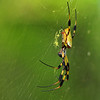 Golden Orb-Weaver<br /> © Sparkle Clark