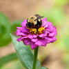 Bee on Purple<br /> <br /> © Sparkle Clark