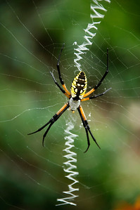 Black and Yellow Argiope 2 © Sparkle Clark