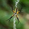 Black and Yellow Argiope 2<br /> © Sparkle Clark