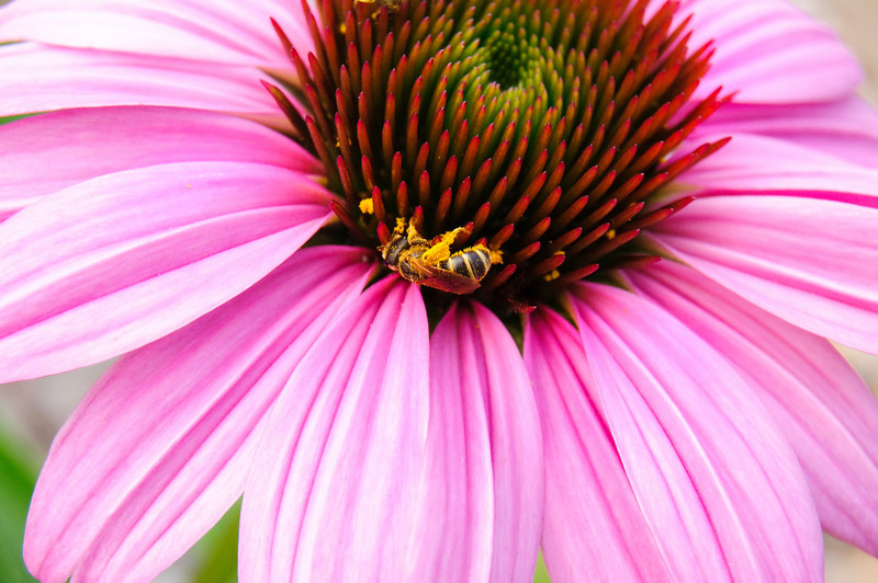 Variations on a Coneflower Part 3<br /> © Sparkle Clark