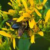 Bee on Yellow 2<br /> © Sparkle Clark