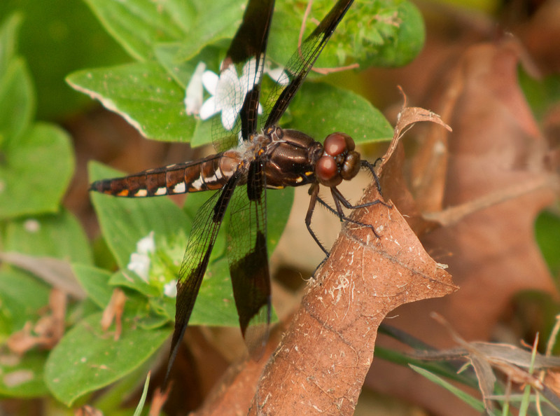 Dragonfly on leaf<br /> © Sparkle Clark