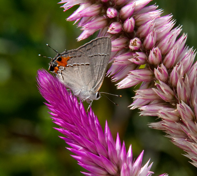 Gray Hairstreak <br /> <br /> © Sparkle Clark