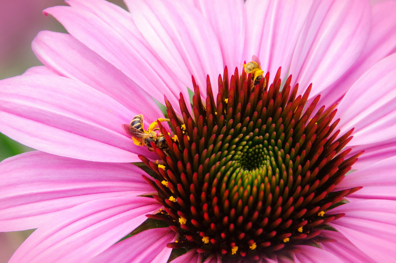 Variations on a Coneflower Part 2<br /> © Sparkle Clark