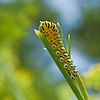 Black Swallowtail Caterpillar<br /> <br /> © Sparkle Clark