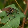 Robber Fly<br /> © Sparkle Clark