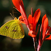 Cloudless Sulphur 3<br /> © Sparkle Clark