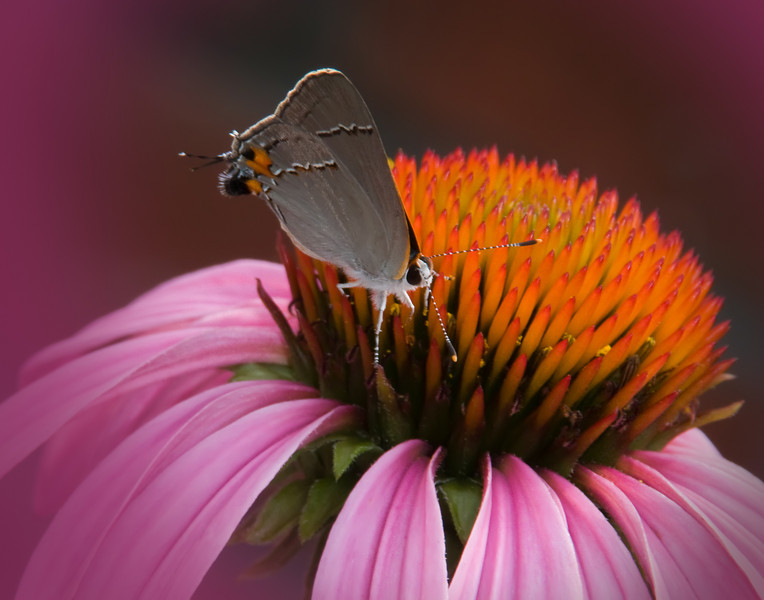 Gray Hairstreak on Coneflower<br /> <br /> © Sparkle Clark