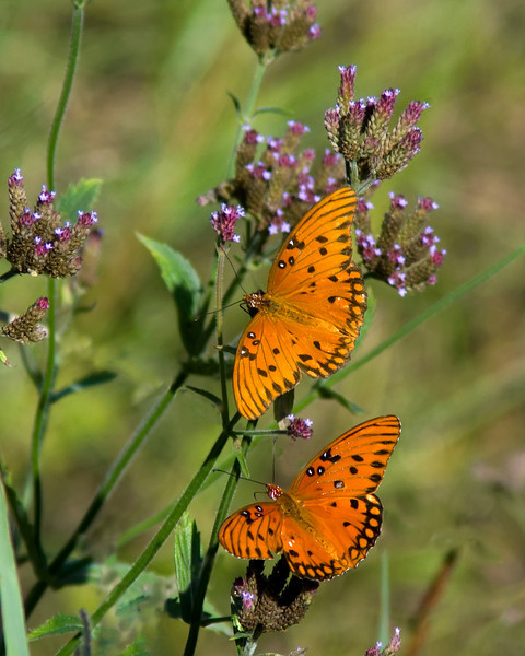 Gulf Fritillary Pair on the underbrush flower<br /> <br /> © Sparkle Clark