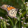 Monarch<br /> © Sparkle Clark