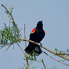 Red-winged Blackbird, male<br /> © Sparkle Clark