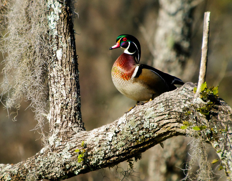 Wood Duck, male breeding plumage<br /> © Sparkle Clark