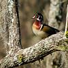 Wood Duck, male breeding plumage<br /> © Sparkle Clark
