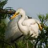 Great Egret Fledglings<br /> <br /> © Sparkle Clark