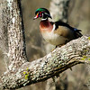 Wood Duck, male in breeding plumage Part 2<br /> © Sparkle Clark
