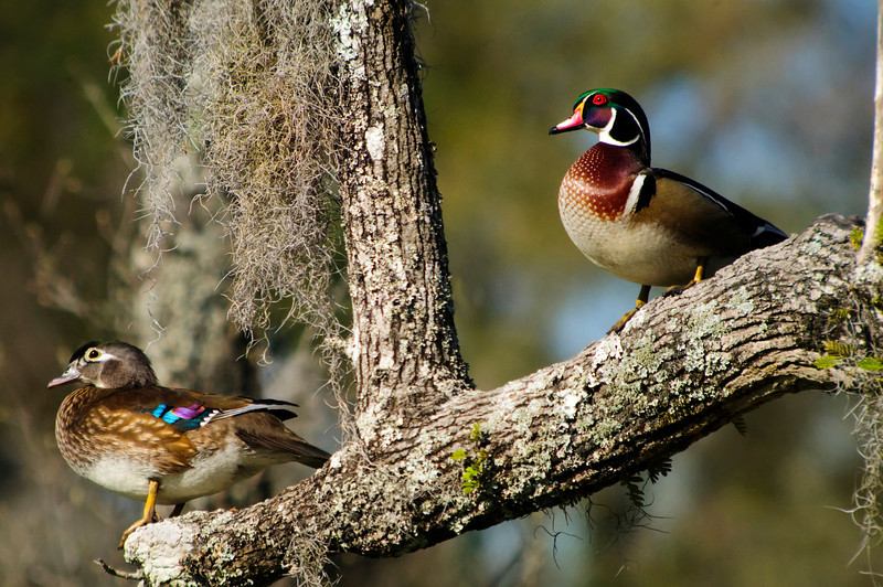 Wood Duck pair<br /> © Sparkle Clark