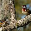 Wood Duck pair<br /> © Sparkle Clark