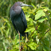 Little Blue Heron<br /> © Sparkle Clark