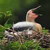 Anhinga Chick yawning<br /> <br /> © Sparkle Clark