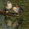 Green-winged Teal pair<br /> © Sparkle Clark