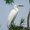 Snowy Egret<br /> © Sparkle Clark