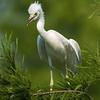 Little Blue Heron fledgling<br /> <br /> © Sparkle Clark
